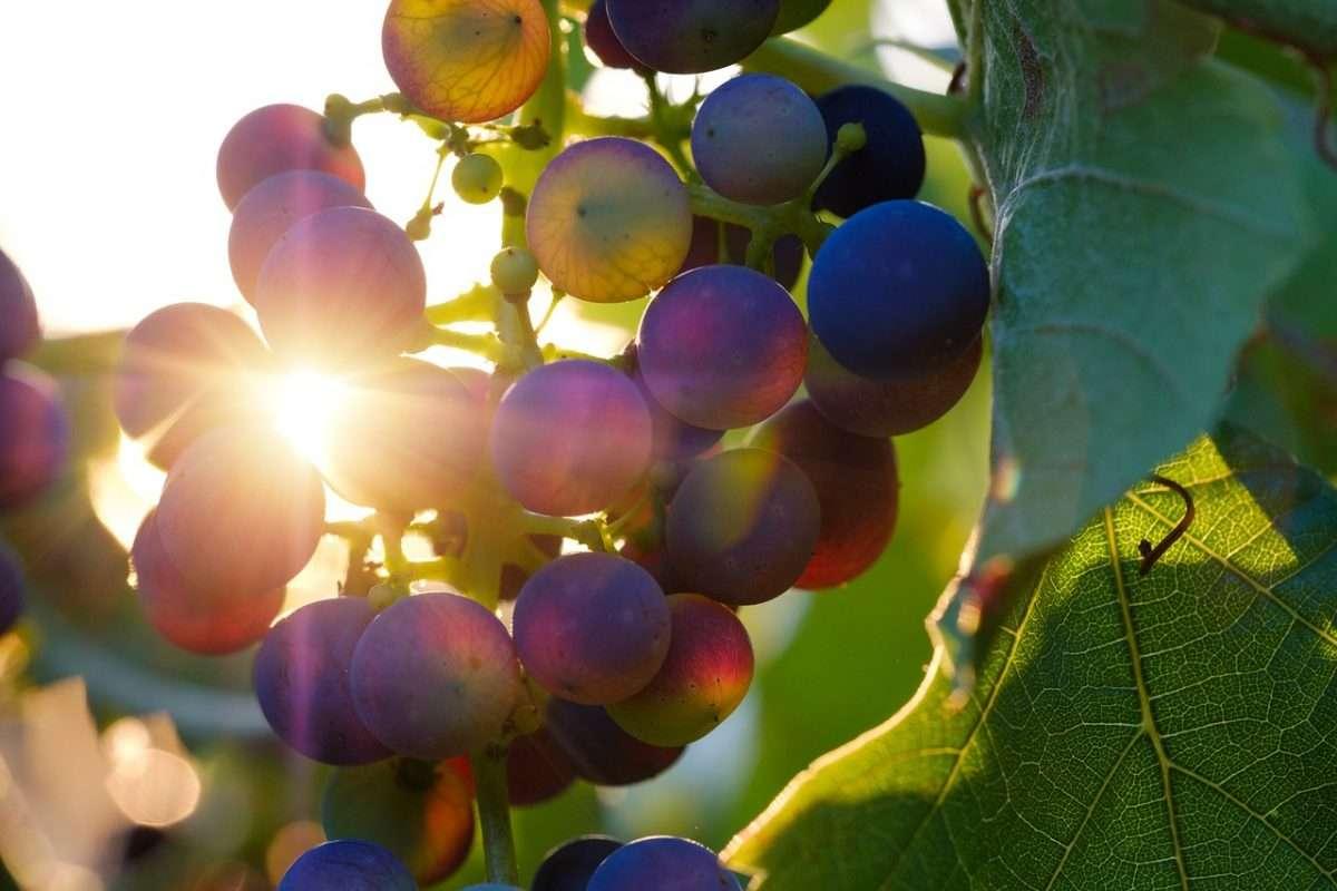 È sempre più green il vino delle cooperative italiane