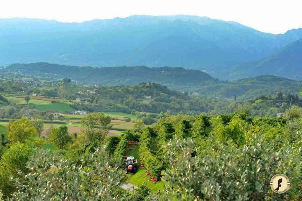 Si trova in Italia Il 47% del Pinot Grigio totale coltivato nel mondo.