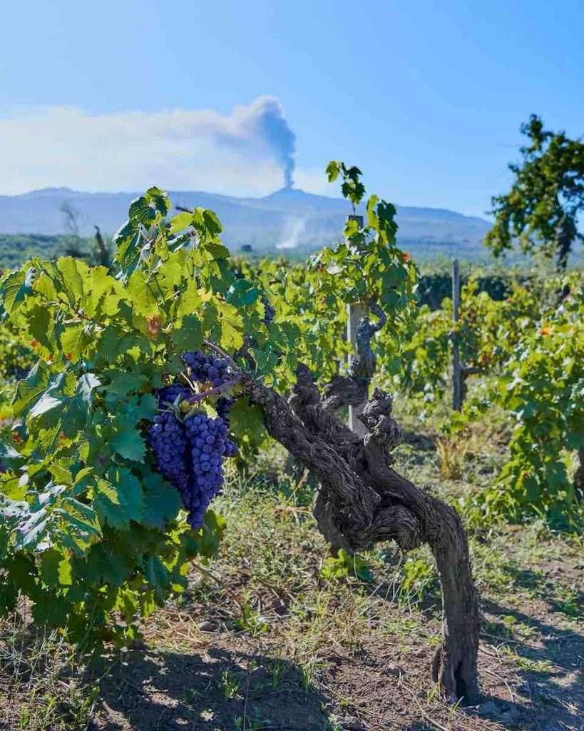 Rosa è il frutto di un blend originale di due vitigni autoctoni tra i più importanti della tradizione siciliana: il Nerello Mascalese e il Nocera (Ph. Luca Di Meo)