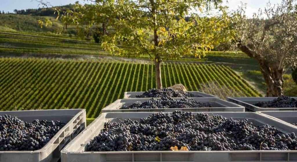 La lieve surmaturazione delle uve è una delle caratteristiche che rendono unico il Valpolicella Superiore Maternigo