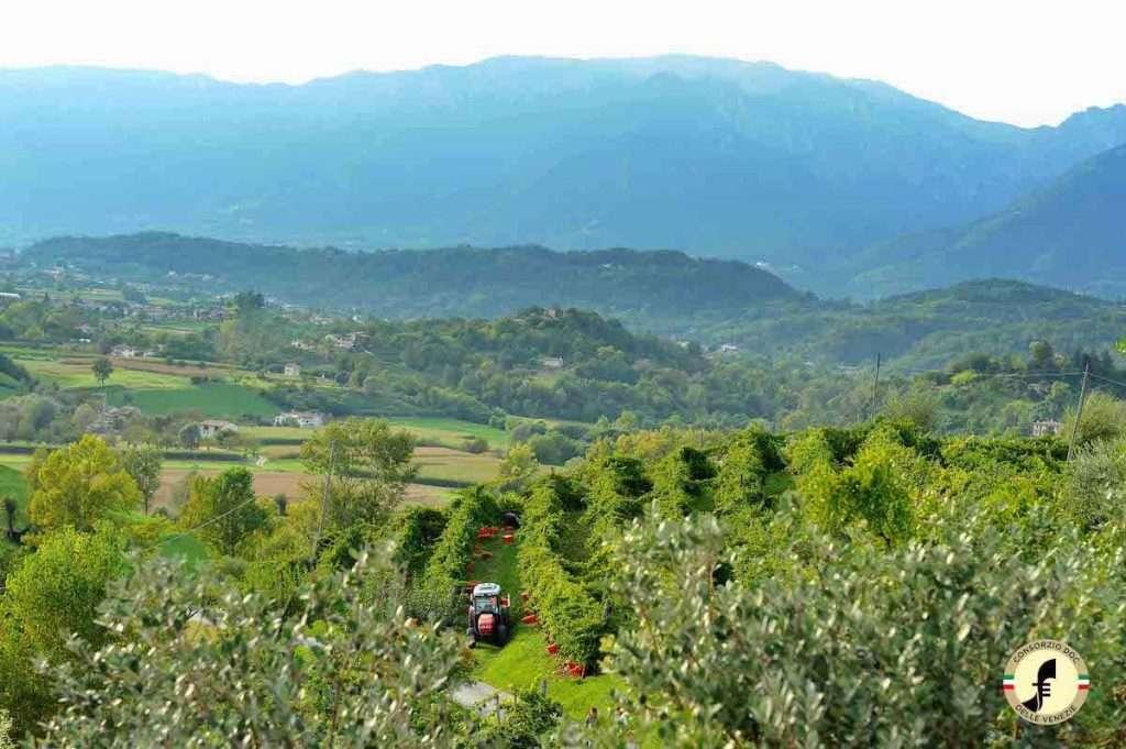 """Un """"prodotto territorio"""", la Doc delle Venezie, che rappresenta l'85% del Pinot grigio italiano e il 43% di quello mondiale"""