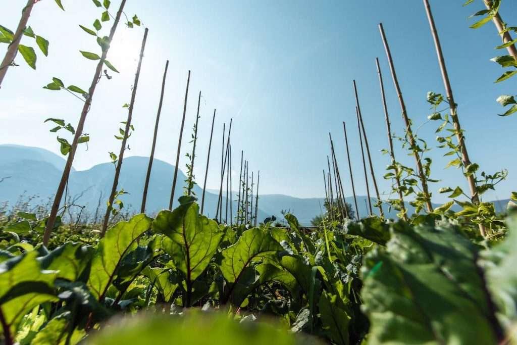 Le verdure non sono mai state considerate solo e semplicemente un contorno al Ristorante Paradeis nella Tenuta Alois Lageder