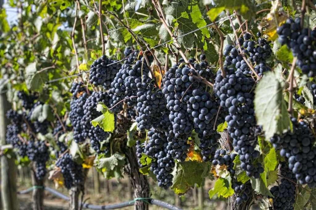 """Un'uva definita """"scalpitante"""", il Sangiovese di questa ottima annata in raccolta nei vigneti di produzione della Doc e Docg del Montecucco"""