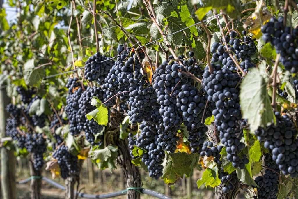 """""""Una viticoltura improntata sul massimo rispetto della pianta e su una buona gestione dei suoli non può che consentire al Sangiovese di esprimersi al massimo"""" (Luca D'Attoma)"""