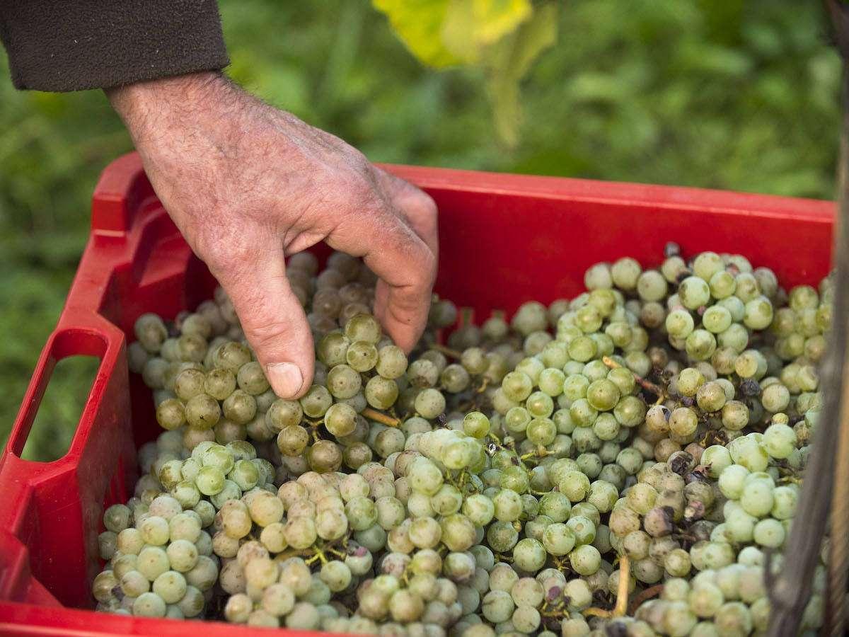 """Il Veneto che """"resiste"""": cosa sono i vini e i vitigni Piwi"""
