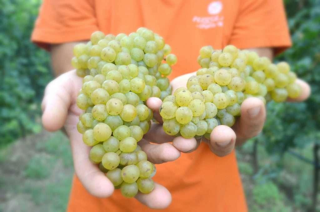 Uve Bronner, uno dei vitigni Piwi scelti da Settimo Pizzolato per la sua sperimentazione