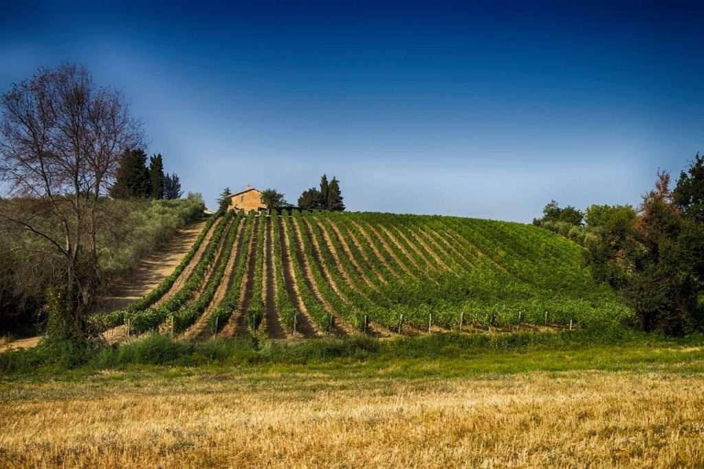 Le uve utilizzate per dare vita al Rosato Velenosi giungono dai vitigni della tenuta di Castel di Lama