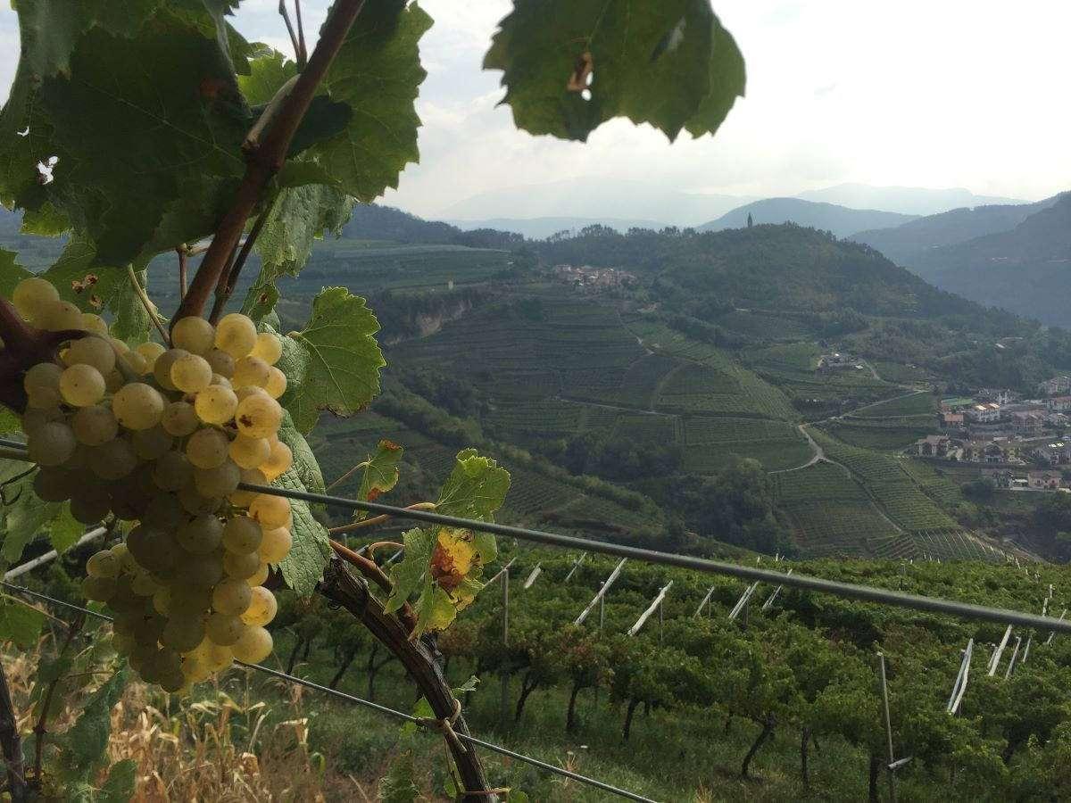 Trentino, in Valle di Cembra a fine luglio si celebra il Müller Thurgau