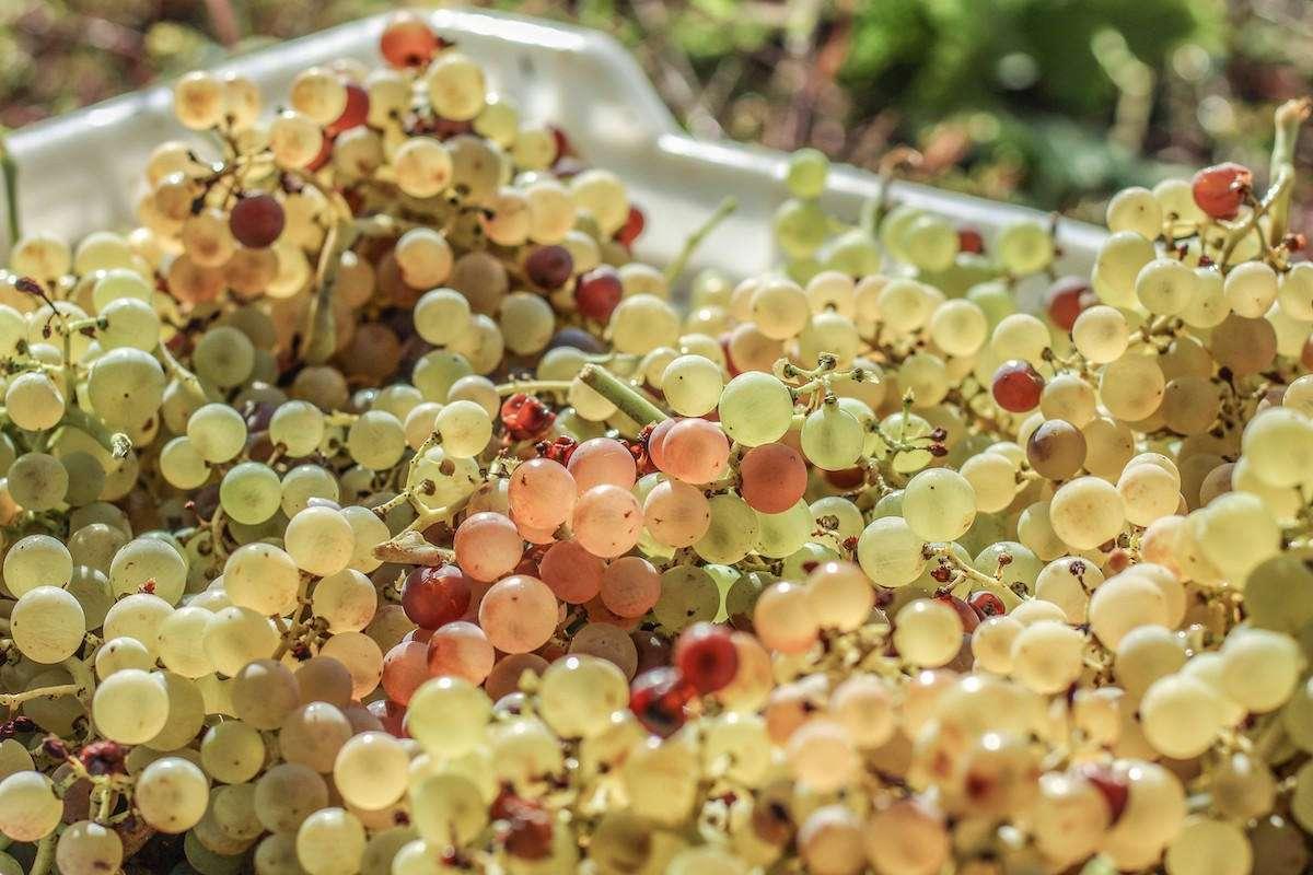 Soave: 2021 ottima vendemmia per il vino bianco veronese