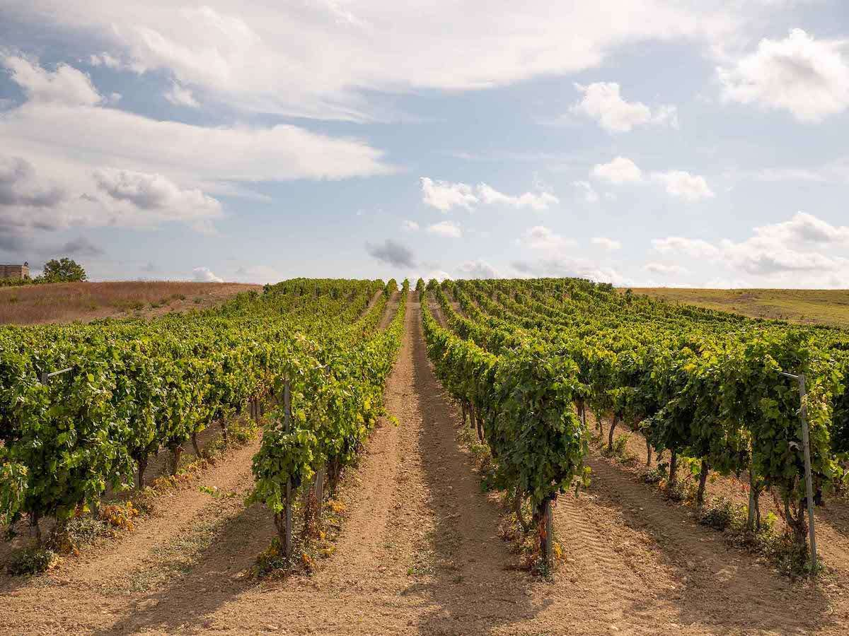 Primitivo di Manduria: vendemmia posticipata, ma ottima qualità delle uve