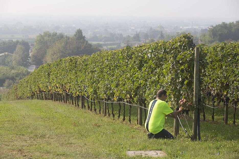 """Giusti Wine: la vendemmia 2021 è """"resistente"""""""