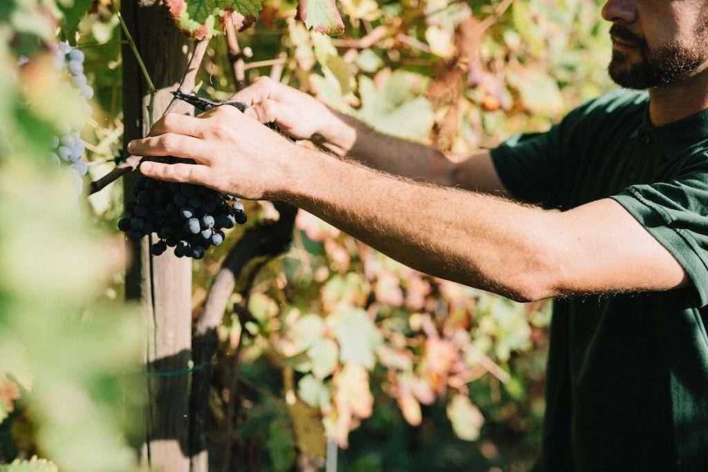 Nelle vigne della tenuta di Quattro Castella, in provincia di Reggio Emilia, dolcemente adagiata sulle colline matildiche, la vendemmia di Venturini Baldini ha preso il via il 15 di agosto